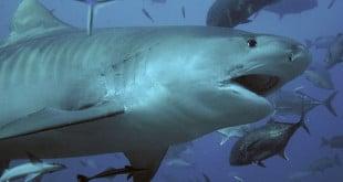 Mergulhar com tubarões é um dos passeios mais irados em Fiji