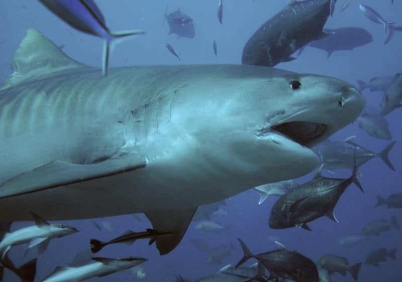 Mergulho com tubarão em Fiji