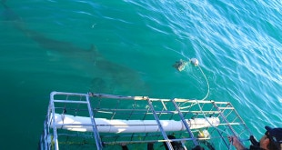 Mergulho em gaiola com tubarões branco