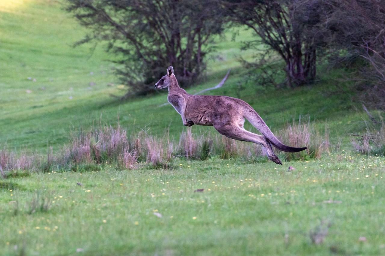 onde ver cangurus na austrália