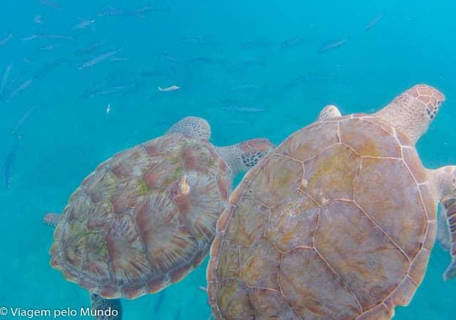 Tartarugas em Barbados.