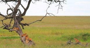 Dicas para organizar um safari barato na Tanzânia