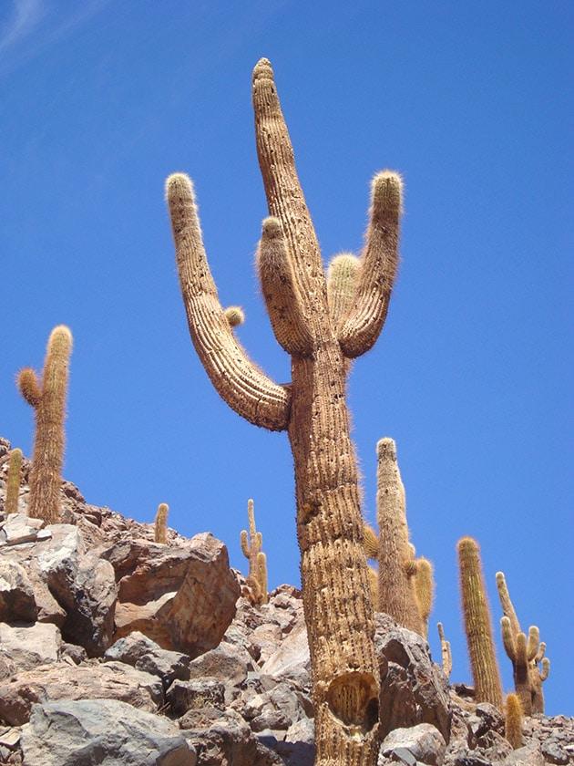Cactos gigantes do Atacama