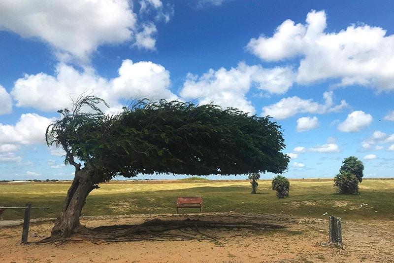 Árvore Penteada no Piauí