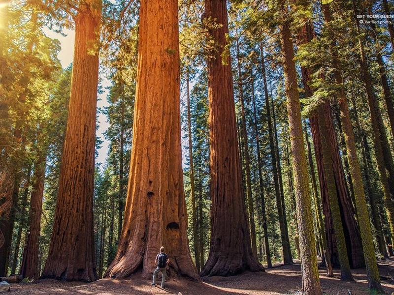 Sequoias gigantes São Francisco