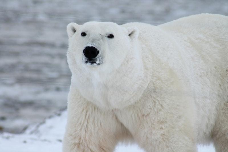 Curiosidades sobre ursos do Canadá