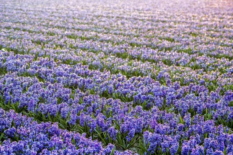 Cidades com flores na Holanda