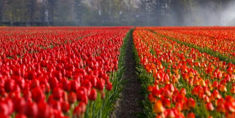 Keukenhof Holanda