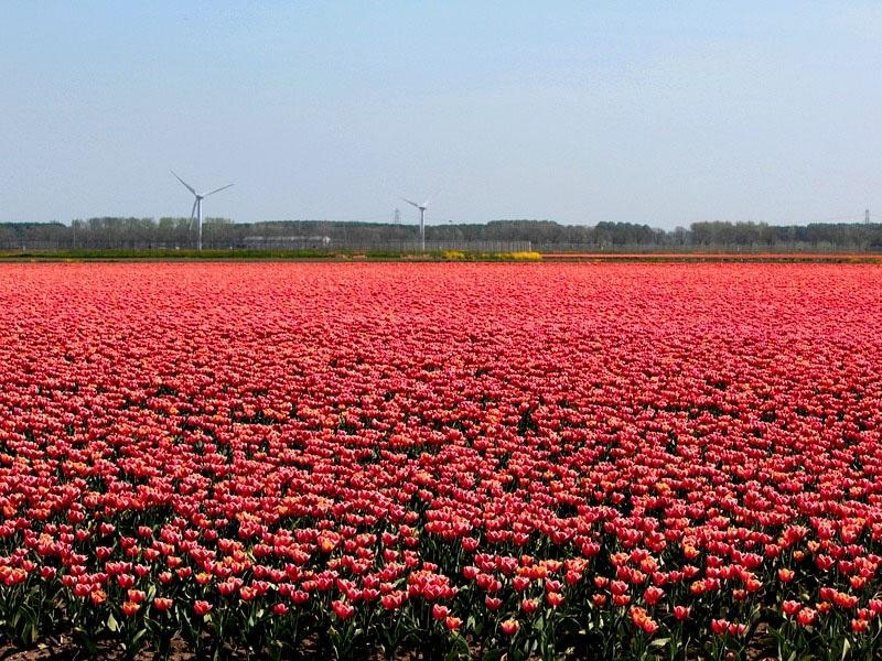 Símbolo nacional da Holanda