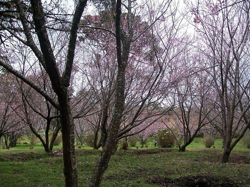 Festival das cerejeiras, Campos