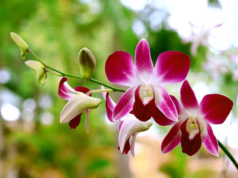 Arredores de Campos do Jornão, orquídeas