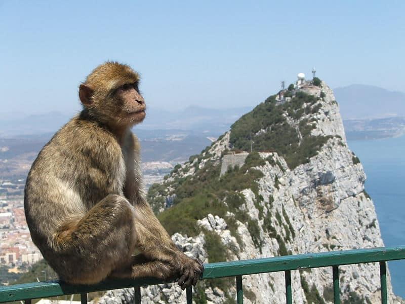 Macacos de Gilbratar