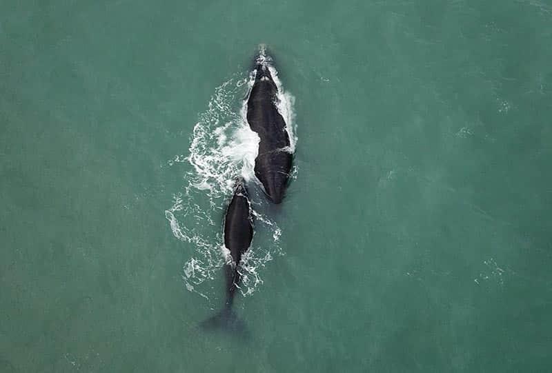 Onde ver as Baleias Francas em SC
