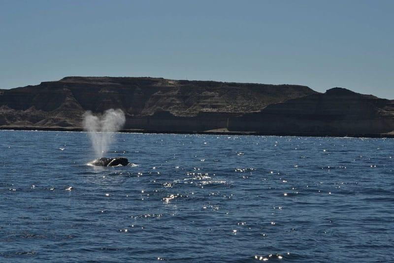 baleia franca praia do rosa