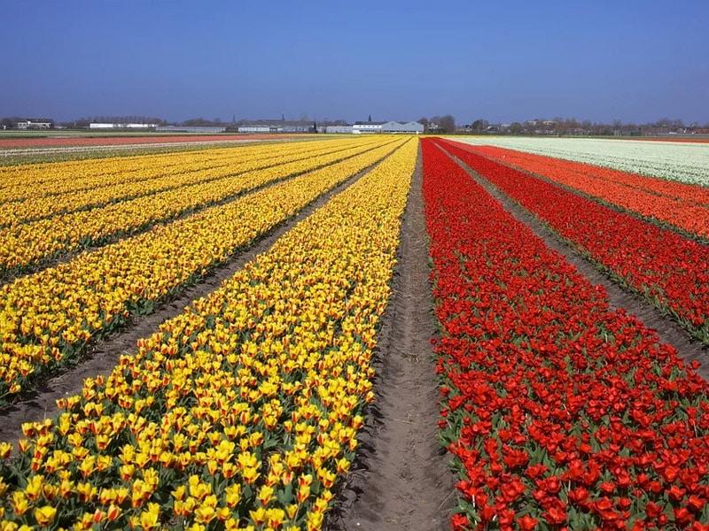 quantas tulipas tem no keukenhof?