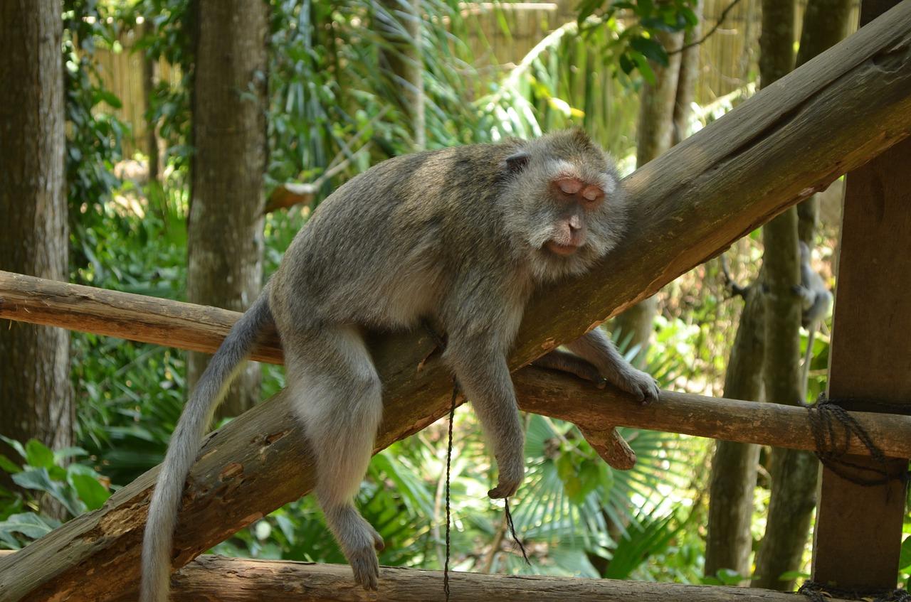 ilha dos macacos em Bali