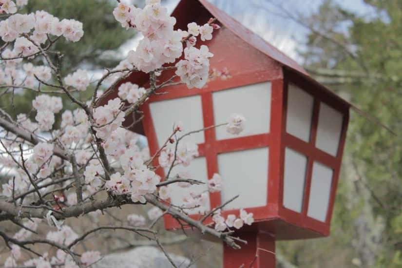 cerejeiras no japao