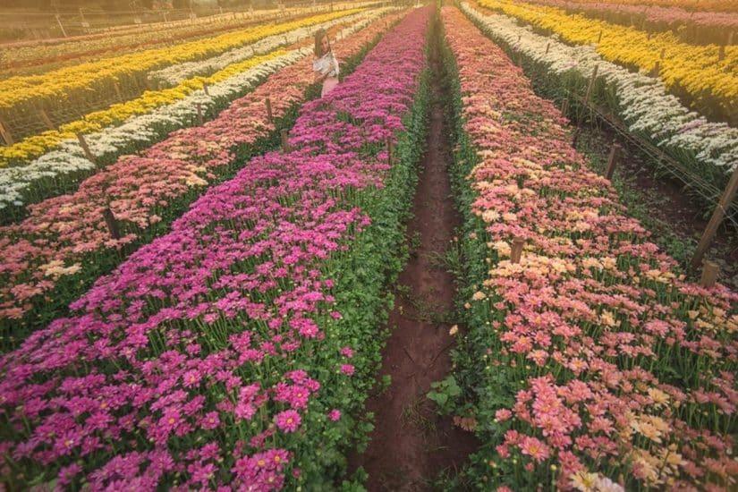 holambra flores