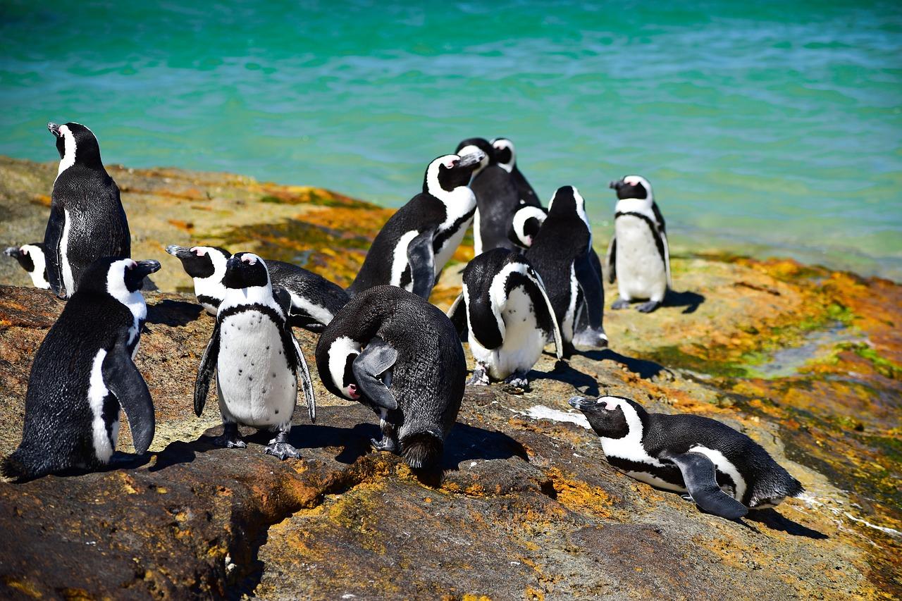 pinguins boulders beach cidade do cabo