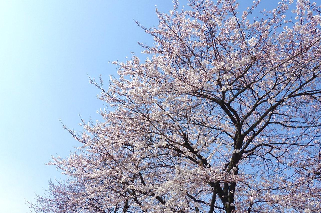 sakura japão