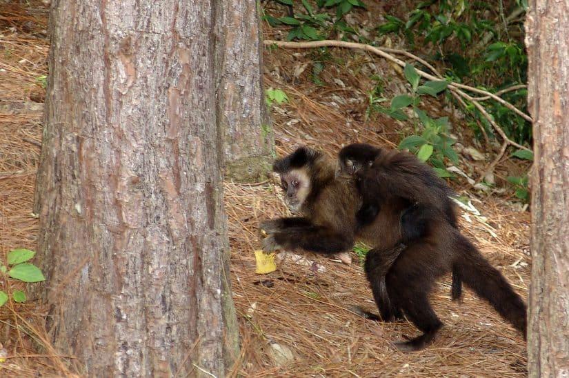 trilhas dos macacos em Florianópolis