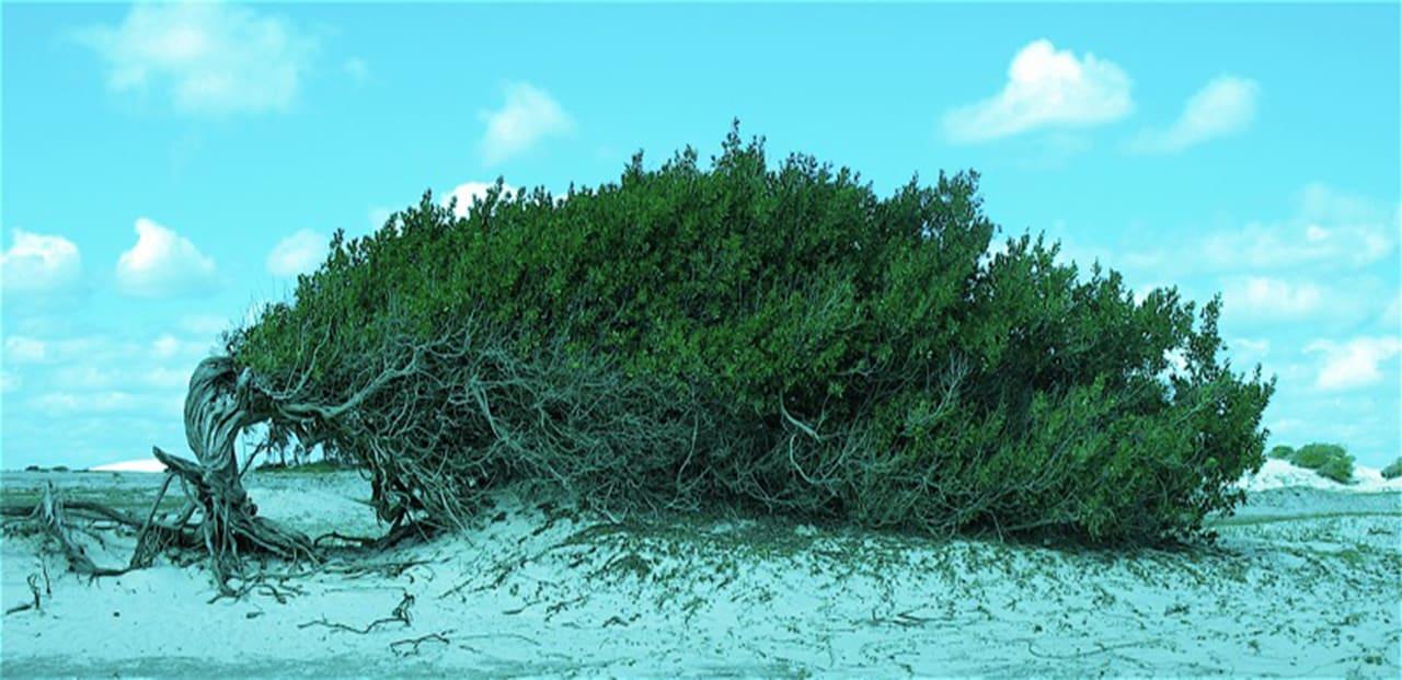 Fotos de Jericoacoara - Árvore da Preguiça