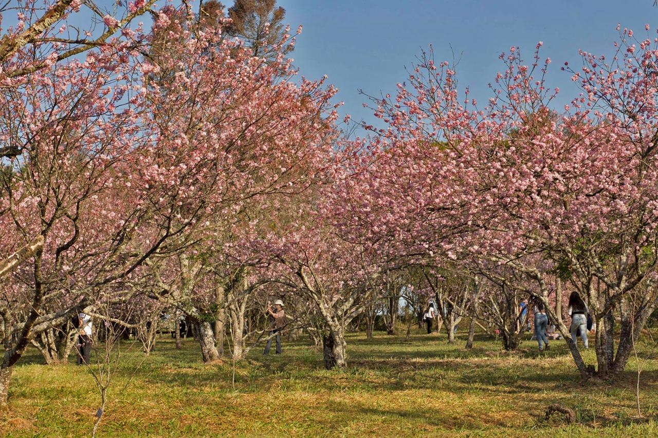 festival de cerejeiras do carmo